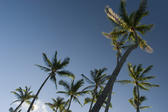 a grove of tall palm trees, Honolulu, Hawaii