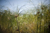 Abstract background image featuring a dense cluster of tall fronds of ornamental grass under a clear sunny blue sky
